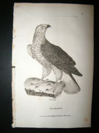 Shaw C1810 Antique Bird Print. Goshawk